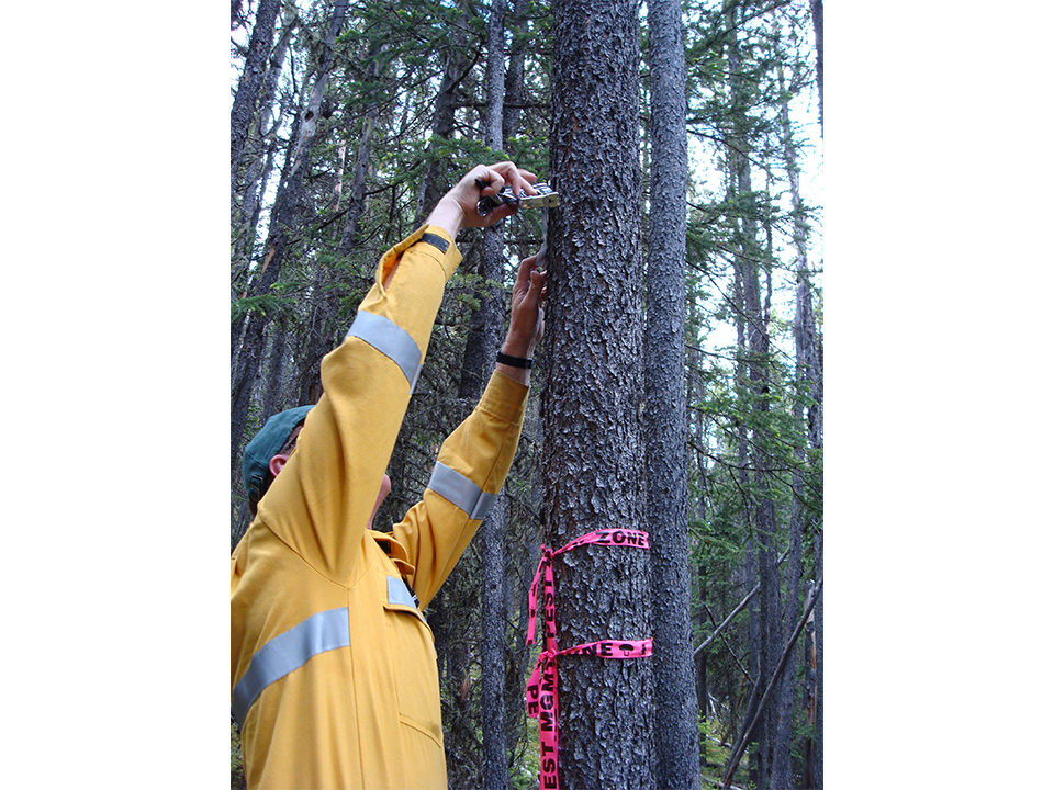 Forestry and forest management operations - a person checking a tree